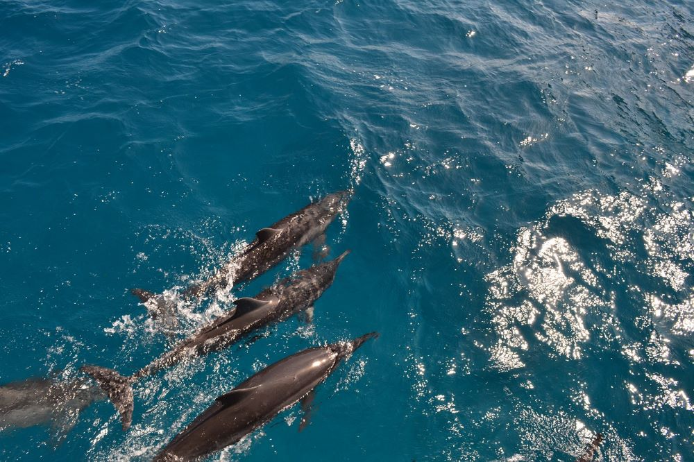 bottlenose dolphins swimming in ocean